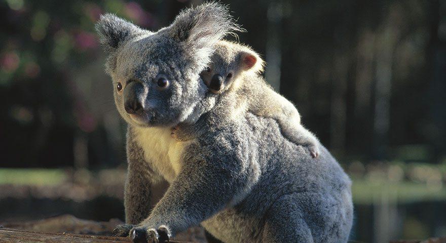 Koala at Lone Pine Sanctuary